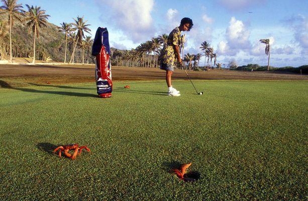 Punarapuja voi tavata jopa golfkentällä.