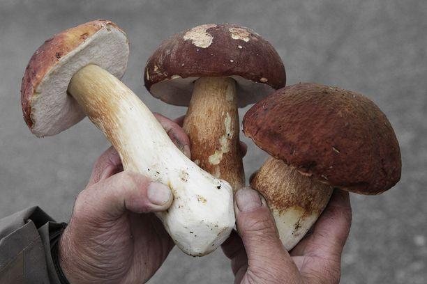 Jotkut sienestäjät ovat jo päässeet nauttimaan herkkutateista.