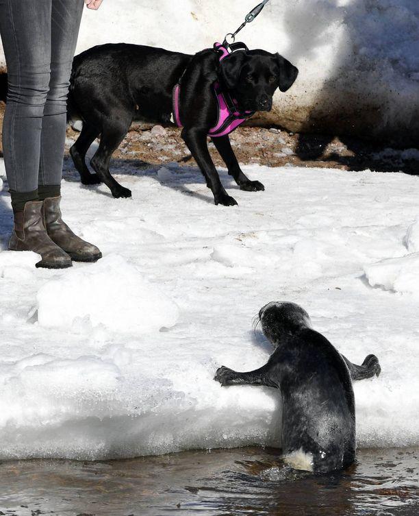 Kaivopuiston rannassa lekotellut kuutti herätti valtavasti kiinnostusta. Pelastuslaitoksen mukaan etenkin koirat ja lapset pitäisi pitää kaukana kuutista, sillä se voi purra.