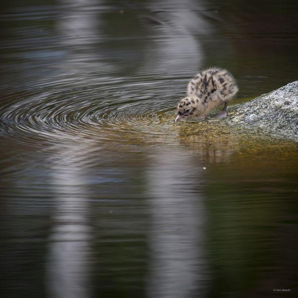 Uusia siivekkäitäkin kulkee Ähtärin eläintarhan mailla.