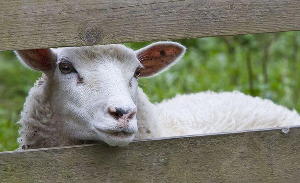 Lammaskahvila tarjoaa eläinterapiaa kävijöilleen.