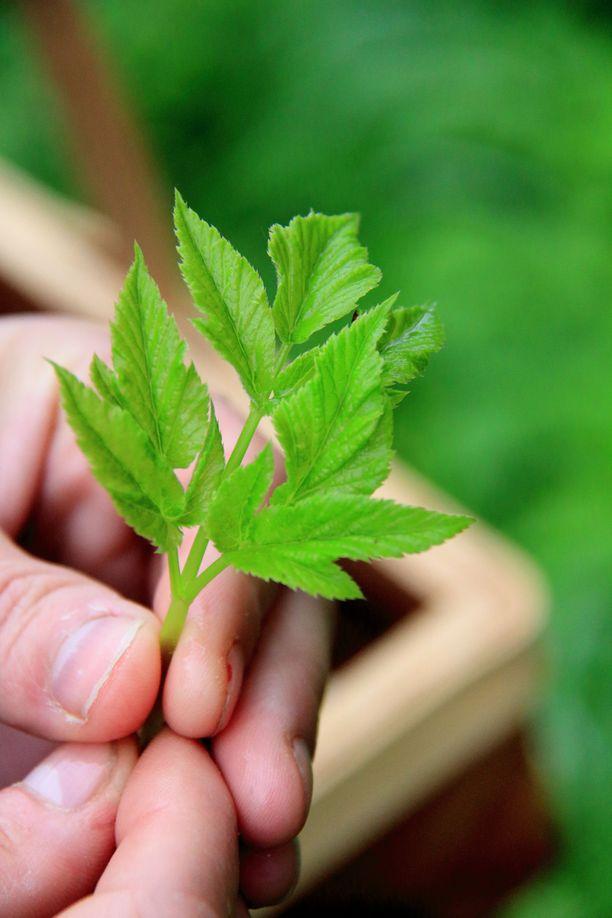 Vuohenputki on oikea kalsiumpommi. Nuori vuohenputki maistuu vähän porkkanalle.