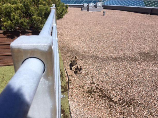 Sorsanpoikaset olivat pudonneet noin metrin matkan istutuksista kauppakeskuksen kattotasanteelle.