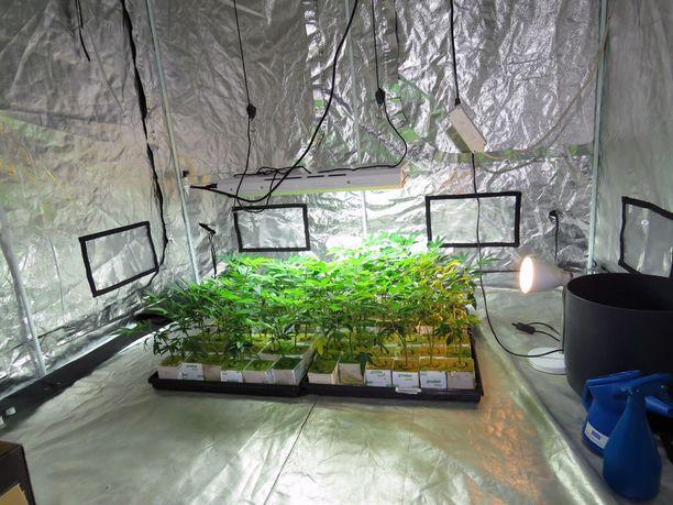Kasvatustoiminnan jatkamiseksi tilaan oli sijoitettu kannabiksen kasvattamiseen tarkoitettu teltta, jossa oli taimivaiheessa kasvamassa 66 kannabiskasvin tainta.