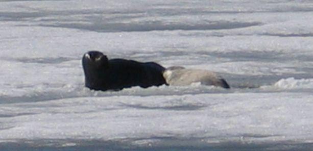 WWF on seurannut Venla-norppaa. Se on synnyttänyt Etelä-Saimaalla useita poikasia. Kuva Venlasta ja keväällä syntyneestä kuutista.