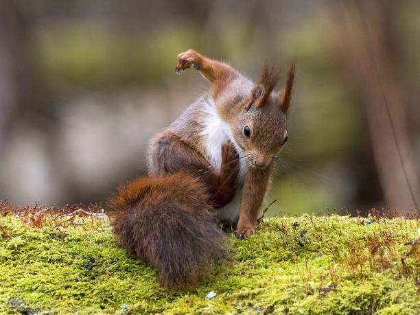 Ruotsalainen orava rapsuttaa itseään jalalla.