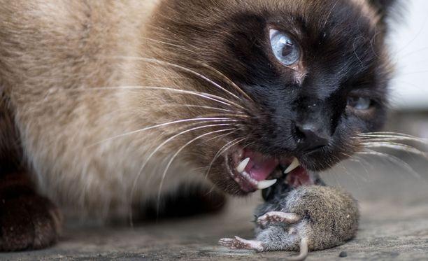 Kissan purema tartutti vesikauhun brittiin Marokossa. Tartunnasta kehittynyt virustauti vei hengen muutama viikko myöhemmin. Kuvituskuva.