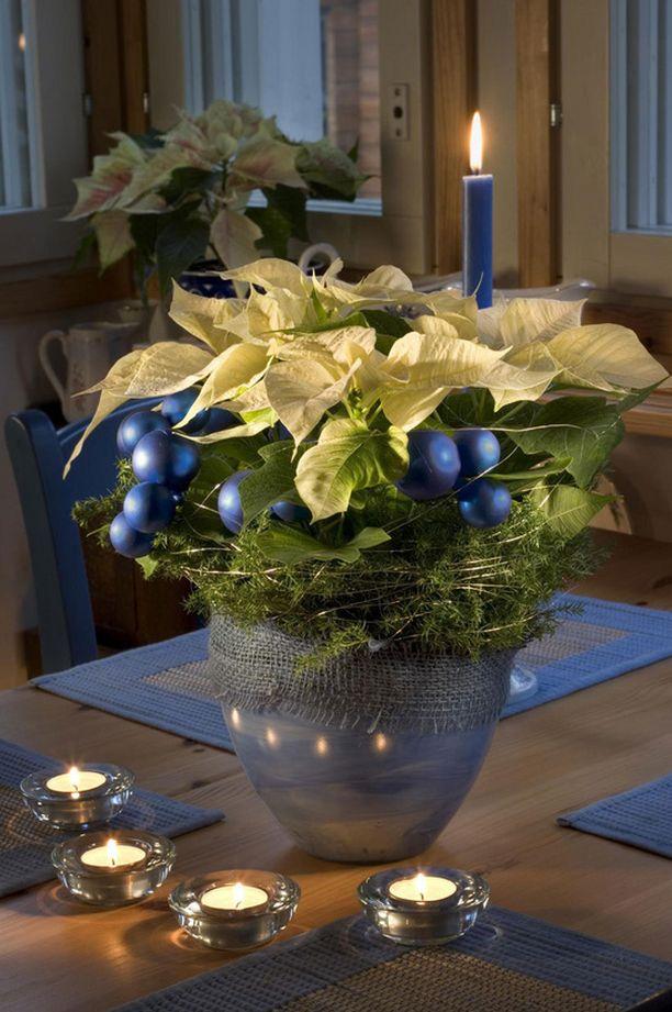 Joulutähti ei tuoksu, mutta sen maitiaisneste on allergisoivaa.