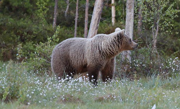 Karhu kuoli kolarissa.