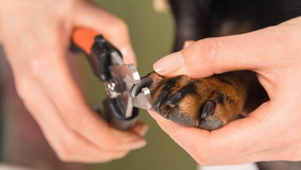 Eräällä somessa leviävällä videolla bull-tyyppinen koira kaatuu selälleen, kun sen kynsiä ollaan leikkaamassa. Kuvituskuva.