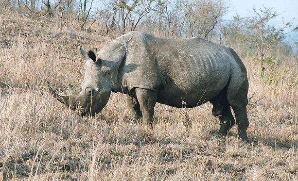 Isosarvikuonoja elää erityisesti Etelä-Afrikassa.