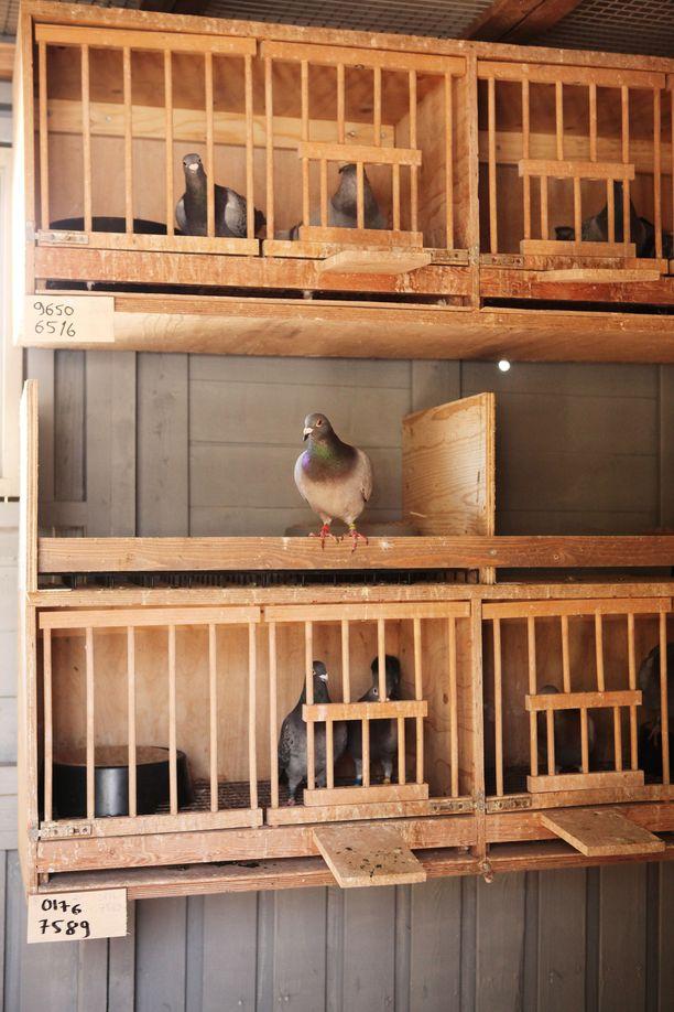 Messi uudessa kodissaan. Mehmet Cevirelin kyyhkypariskunnat menevät omaehtoisesti häkkeihinsä, joiden ovet sitten ihmisten lähdettyä avataan ja linnut pystyvät lentämään vapaasti piharakennuksen sisällä.