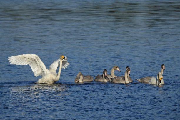Jo vuosikausia Jyväskylän Palokkajärvellä pesineellä joutsenperheellä on tänä kesänä kuusi poikasta.