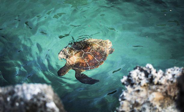 Kilpikonnille tärkeä pohjoisen Ison valliriutan populaatio on vaarassa kadota, koska uroksia ei enää synny. Kuvassa liemikilpikonna Galapagossaarilla.