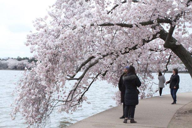 Vuosien varrella Japanin lahjoittamista puista on otettu pistokkaita, ja nykyään alueella kasvavista 3700 kirsikkapuusta suuri osa on Japanin lahjoittamien puiden jälkeläisiä.