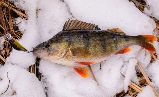 Kirkasvetisten järvien ahvenissa on enemmän terveellisiä rasvahappoja ja vähemmän elohopeaa kuin humusjärvien ahvenissa.