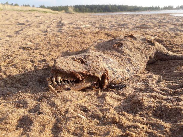 Tällaisen otuksen Jouni Knuuti lapsineen löysi kokkolalaiselta hiekkarannalta.