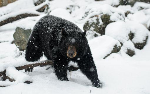 """Karhu hyökkäsi alaskalaisen naisen kimppuun huussissa – niin sanotusti alakautta: """"Reiästä tuijotti karhun naama"""""""