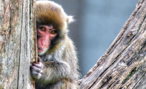 Japanimakakit elävät apinapuistossa Takasakivuorella.