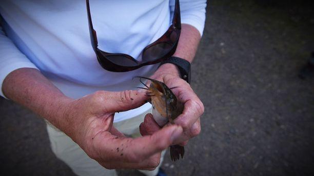 Piikkimonni on usein osoittautunut harvinaiseksi saaliiksi kalamaratonilla.