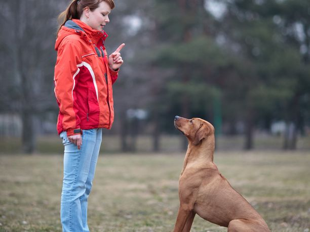 Koira-ajokortilla varmistettaisiin, että koiranomistajilla on paremmat edellytykset hallita koiraansa ja kouluttaa se oikein.