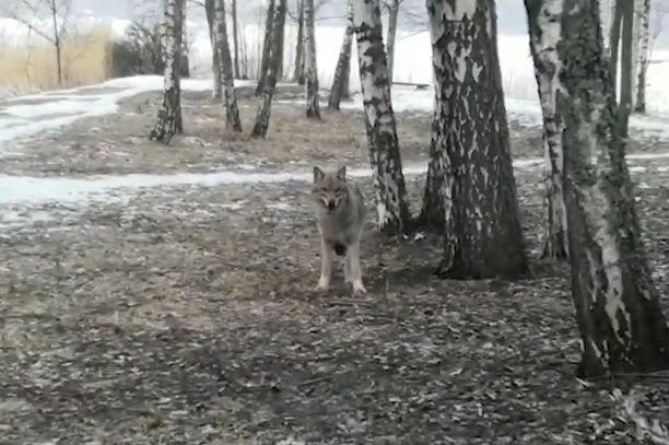 Tämä susi kuvattiin Helsingissä maaliskuussa.