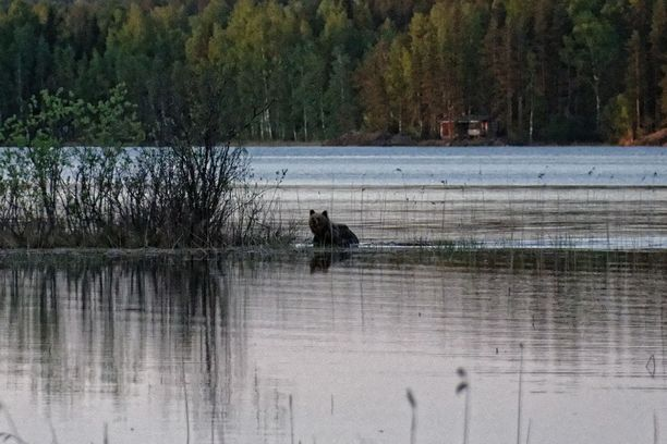 Jussi-Pekka Laamasen kalastus loppui lyhyeen, kun vastarannalta lähti uimaan karhu.