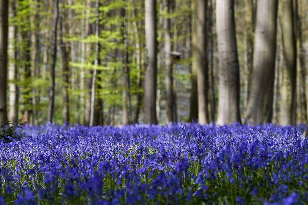 Nämä kukat houkuttelevat keväisin paljon väkeä Hallerbosin metsään.