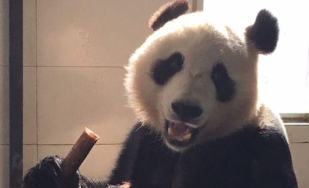 Pyry syö bambua noin 20 kiloa päivässä.