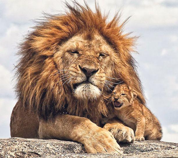PENTU HÄIRITSI Tämä urosleijona nautti päiväunista safarilla Tansaniassa, kunnes lähestyvän turistiryhmän säikäyttämä pentu tuli herättämään sen. Yksi turisteista onnistui ikuistamaan isäleijonan yrmeän ilmeen.