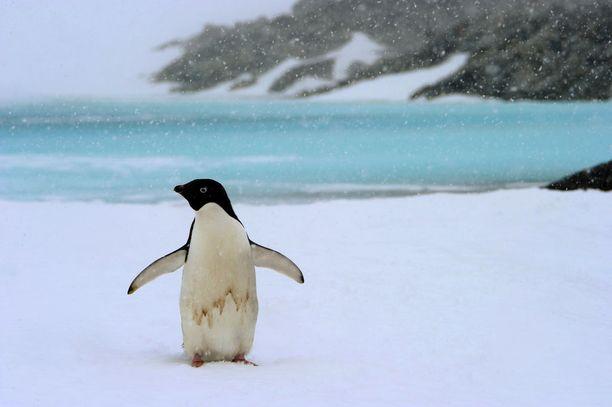 Adeliepingviinit elävät Etelänapamantereella.