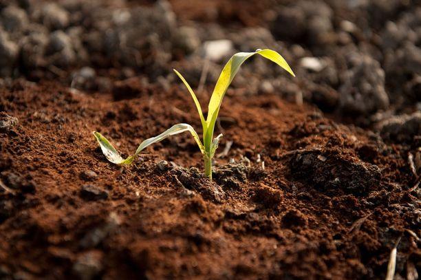 Kahvinpuruja voi ripotella kukkapenkkiin pitämään etanat loitolla.