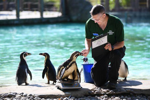 Pingviinit tulivat kiltisti hoitajan luokse.