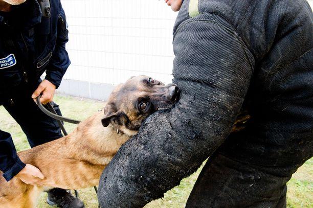 Mies jouduttiin taltuttamaan poliisikoiran avulla Turun Runosmäessä. Kuvassa harjoitteleva poliisikoira ei liity tapaukseen.