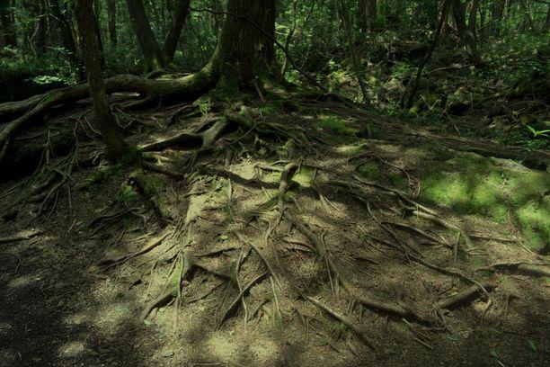 Ikiaikaisten puiden juuret muodostavat verkon maan pinnalle.