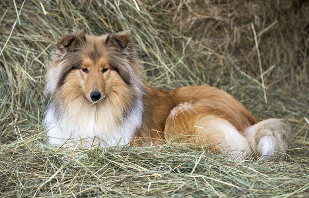 Skotlanninpaimenkoira on suhteellisen terve koirarotu, sillä voi kuitenkin olla ongelmia lonkkien kanssa kuten porilaismiehen koiralla. Kuvituskuva.