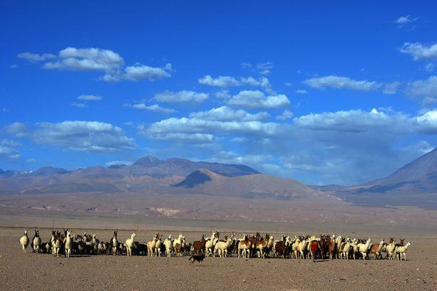 Atacaman alueella paimennetaan alpakoita.