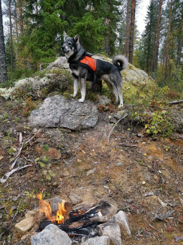 Jämtlanninpystykorva Jalo oli kokenut metsästyskoira.