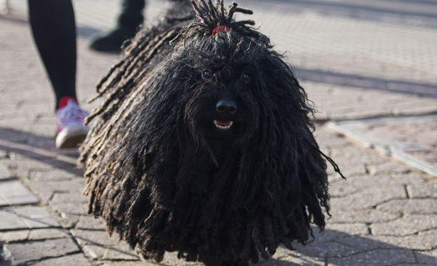 Keki-koira edustaa puli-rotua, joka lukeutuu unkarilaisiin paimenkoiriin. Kuvan koira ei liity tapaukseen.