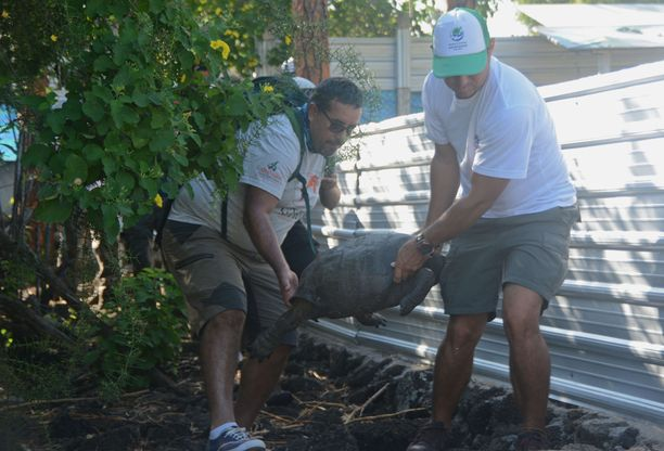Galapagosin kansallispuiston viranomaiset kantoivat löydettyä kilpikonnaa.