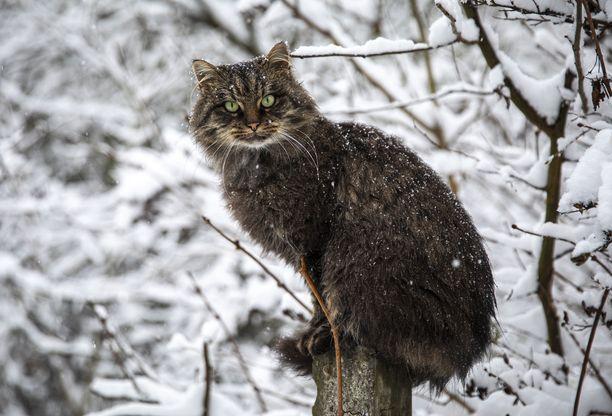 Eräs ruotsalainen tutkija seurasi vuosia kissojen ja ihmisten välistä viestintää. Kuvituskuva.