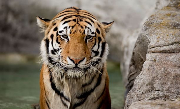 Siperiantiikeri on maailman pohjoisin tiikerin alalaji. Se ui mielellään, eikä karta lunta.