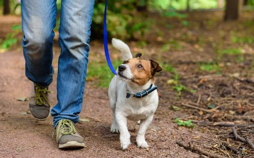 Asiantuntija varoittaa: moni koiranomistaja lenkittää koiransa kipeäksi tietämättään