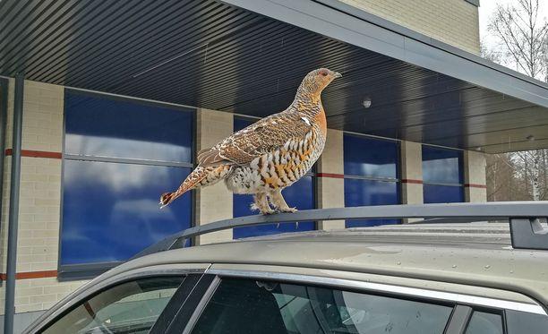 Koppelo oli nähty parin päivän ajan Euran K-Supemarketilla.