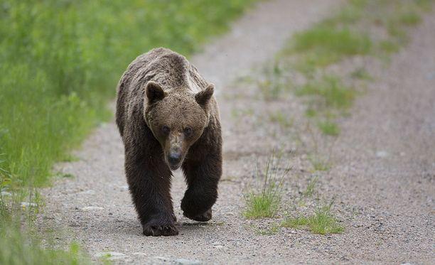 Mäntsälässä mahdollisesti liikkuneen karhun tapaus sai paljon huomiota, mutta jäi mysteeriksi. Kuvan karhu ei liity tapaukseen.