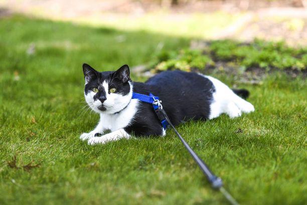 Valjaat tulee laittaa niin kireälle, ettei kissa pääse rimpuilemaan itseään niistä irti.