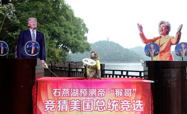 Kiinalaisapina ennusti voittajan valitsemalla toisen pahvifigurin alla ollut banaanikasa.