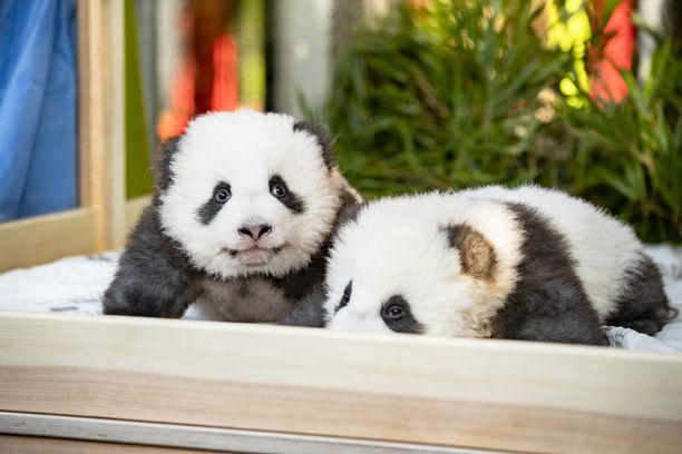 Pandapojat voivat hyvin. Niiden liikkuminen on vielä varsin kömpelöä.