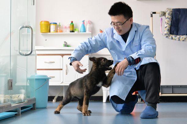 Kunxun on kloonattu erittäin taitavasta poliisikoirasta. Kunxun on nyt kolmen kuukauden ikäinen.