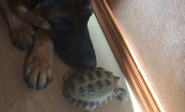 Koko talven yli ulkona kateissa olleen Pepe-kilpikonnan löysi Sky-koira. Ruutukaappaus videolta.